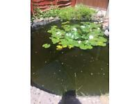 WANTED POND FISH (Hereford)