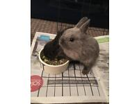 2 house friendly bunnies for sale