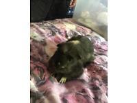 X2 male guinea pigs