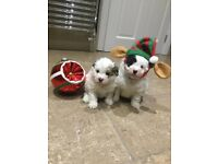 Pomapoo puppies ready 15 December PRA clear