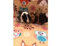 Pair of lovely guinea pig sows
