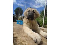 Beautiful Caucasian Shepherd Puppies - Ovcharka - Bear Dog 17 weeks old only one boy and girl left