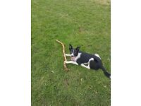 7 month old collie for sale.