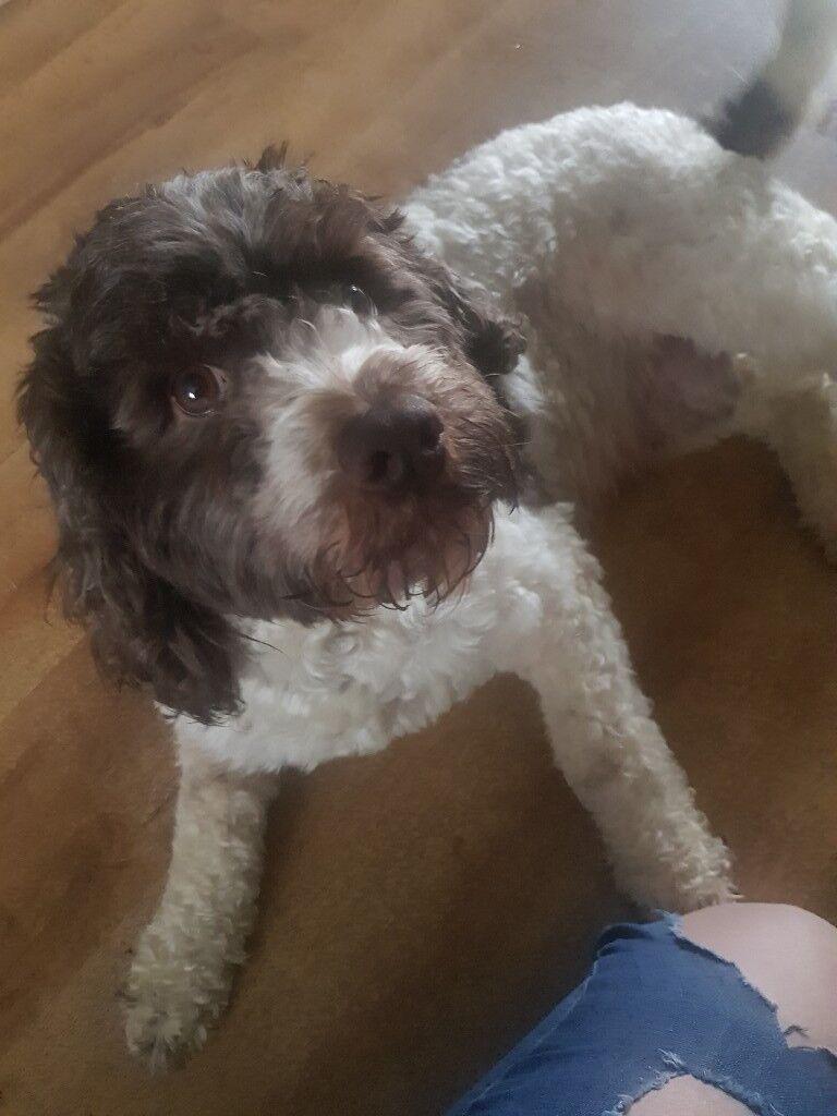 Dogs for sale | in Bridgwater, Somerset | Gumtree