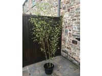 7ft Bamboo Plant x2