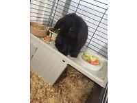 Small male black rabbit