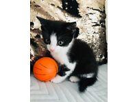 Kitten, male