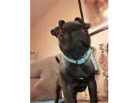 Frug for sale, 4 months old, Alfie is looking for a loving forever home,