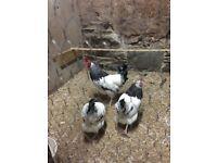 Hens,bantams for sale
