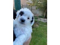 Jackapoo puppy, one girl left