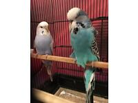 2 beautiful budgies for sale