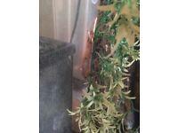 crested gecko flame / Dalmatian comes with exo terra vivarium