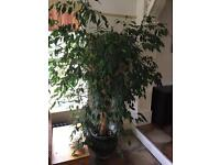 Weeping Fig in Pot