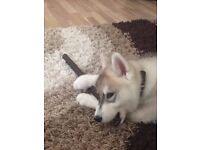 Siberian Husky 6 months old