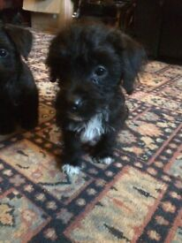 Jackapoo pups for sale £250
