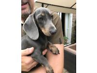 Beautiful Blue and Tan Miniature Dachshund