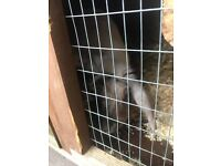 2year old male rabbit plus hutch & bowls etc