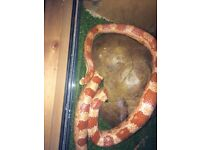 5 corn snakes and 4 vivs