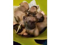 Gorgeous kc registered french bulldog pups