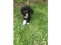 Gorgeous 6 month old Female Colliepoo puppy