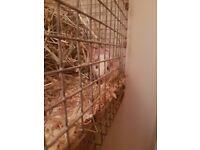 Baby dumbo rat