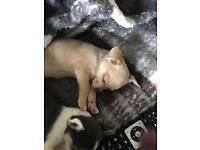 chiwawa puppy 8 weeks and 3 days