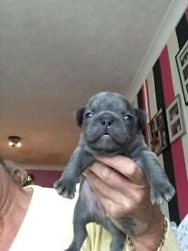 4 KC reg puppy frenchy bulldogs