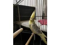 Beautiful yellow cockatiel with cage and food