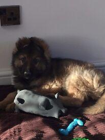 GERMAN Shepard,17week old plus kennel