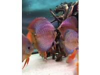 Penang eruption discus 7+ inch