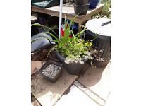 2 large plant pots with plants South Brent near Plymouth Devon £12 the pair
