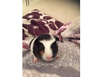 Beautiful 4 week old baby Guinea pig for sale. Well handled since birth