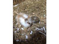 Baby Lion Head Bunnies