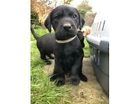 Beautiful KC registered Labrador Puppies