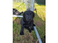Black Labrador pup KC registered 8 weeks old