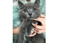 British short hair cross maine coon. Price reduced