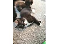 beautiful little kitten for sale £120