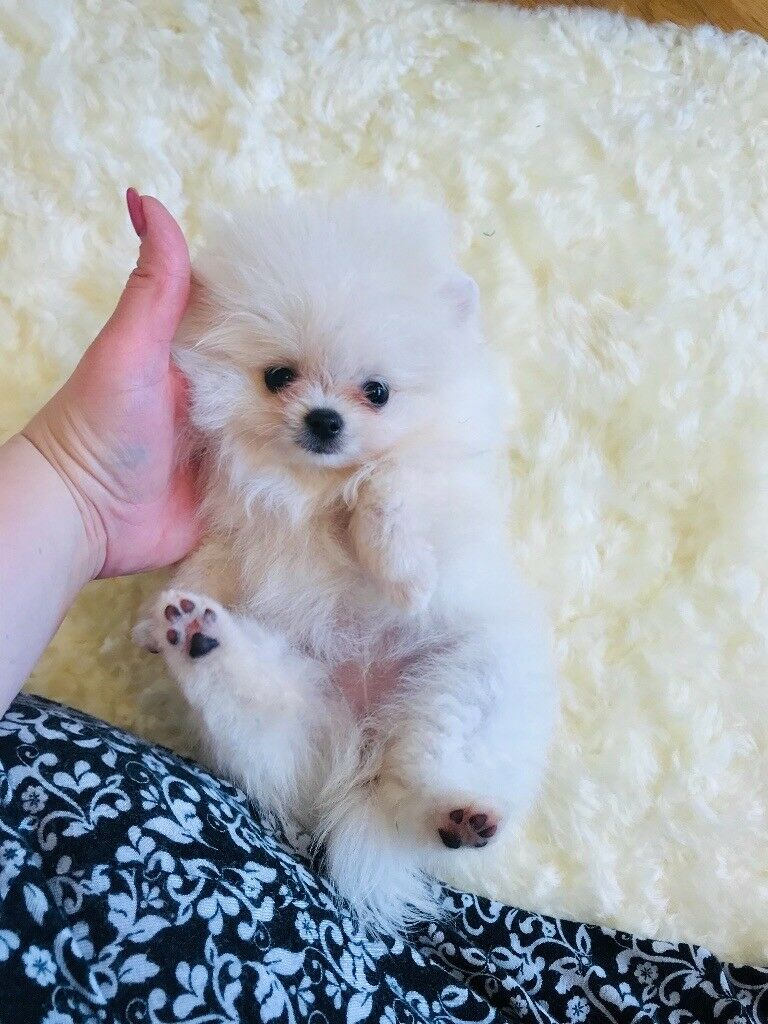 Very small snow white teacup Pomeranian girl | in Canary Wharf, London |  Gumtree