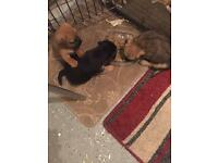 3 male border Lakeland pups