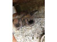 harlequin lionhead rabbits