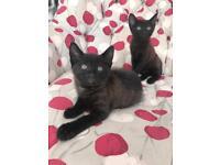 Kittens £50