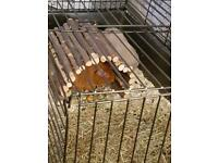 2 male guinipigs for rehoming