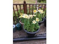 3 tubs of yellow lilies. 2 large tubs , 1 slightly smaller
