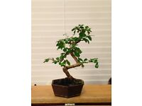 Bonsai tree for sale
