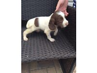 I have 9 English springer spaniel puppies for sale