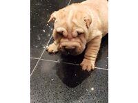 2 kc registered Shar pei pups