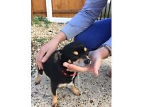 Black and Tan girl chihuahua