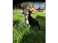 Staffy puppies *FREE Insurance*