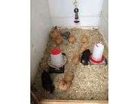 Bantam chickens 10 weeks old