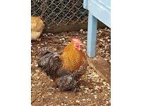 Pekin roosters